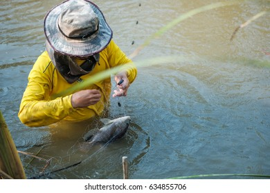 Fisherman hold fish in Fishing net. Oreochromis niloticus.