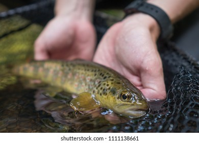 Fisherman holding brown trout in catch and release net