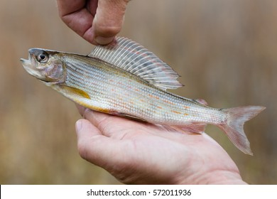 Fisherman holding a freshly caught grayling