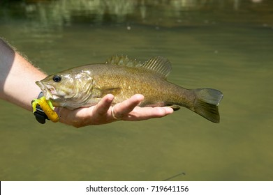 Fisherman holding a freshly caught smallmouth bass with a yellow lure in its mouth in his hand over river water