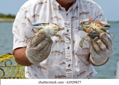 Fisherman on Tangier Island showing a male and female blue crab (Callinectes sapidus) to tourists.
