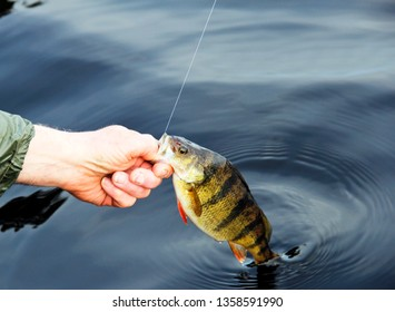 Fisherman pulling a freshwater Perch from the lake after being caught