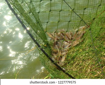 Fisherman pulls a shrimp trapper from a shrimp pond. The fisherman drag the shrimp trap carefully to see if it catches up.