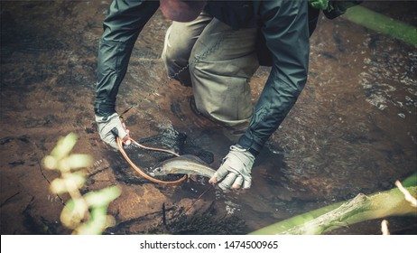 The fisherman releases the caught fish. Trout fishing.