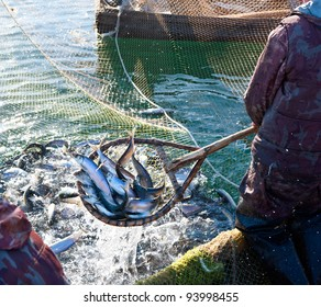 a fisherman scoops up fish from a net