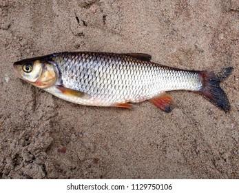Fisherman trophy- chub fish
