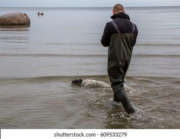 Fishermen and Baltic Grey Seal Pup floats by sea, Engure, Kurzeme, Latvia