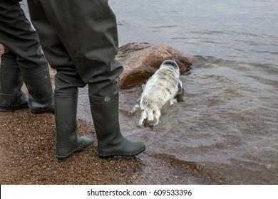 Fishermen and Baltic Grey Seal Pup ñrawls into the sea, Engure, Kurzeme, Latvia. Earth hour. Earth day