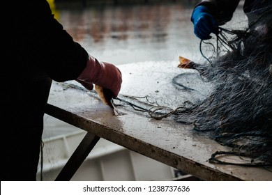 fishermen are pulling fresh fishes floundres from fishing nets