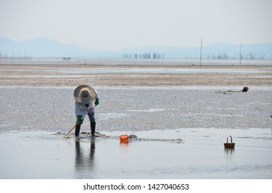 Fishery woman catching crabs and shells in shallow water.