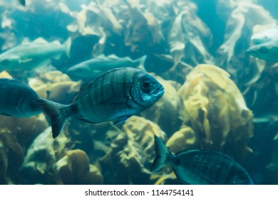 Fishes in aquarium or reservoir ubder water on fish farm Sealife background