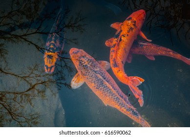 Fishes Cyprinus Japanese color Animal Nature