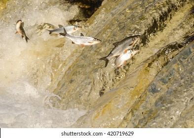 Fishes jumping up in waterfall.