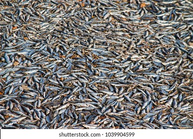 Fishes Laying Under Sunlight for Dry Fish Process One Of The Important Livelihood Of Fisherman At Pulicat  Village, Tamil Nadu, India
