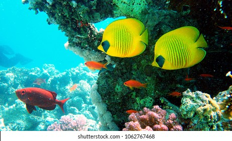 Fishes in the Red Sea. Diving in The Red Sea.