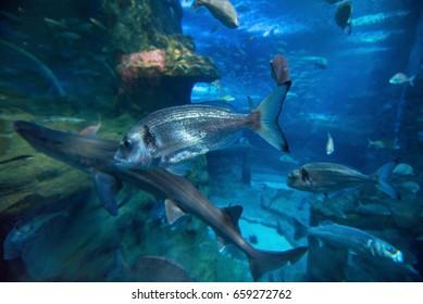 Fishes swimming in large seawater aquarium