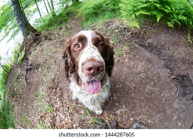 Fisheye and closeup of dog breed english springer spaniel playing in summer green nature outdoors
