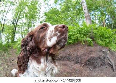 Fisheye and closeup of dog a breed english springer spaniel playing in summer green nature outdoors