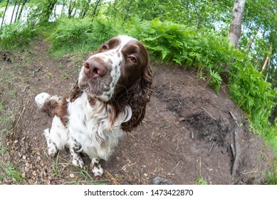 Fisheye and closeup of dog a breed english springer spaniel playing in summer green nature outdoors. Funny top view of the dog's face and big nose.