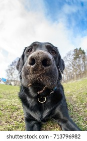 Fisheye and closeup of a labrador playing