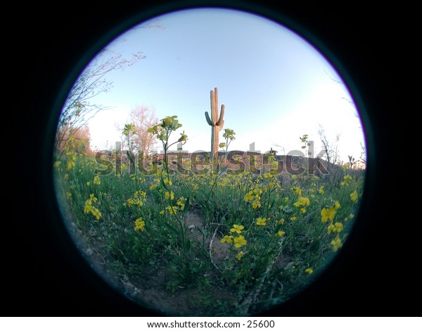 A fisheye image of  Arizona during a spring bloom with a saguaro cactus in the background.