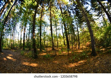 A fisheye perspective of the pines in the forest with some sunlight reaching the lay of pine needles on the ground.