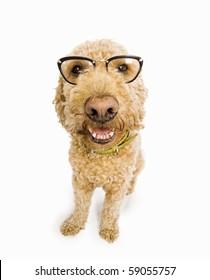Fisheye shot of a spanish waterdog with cat's eye glasses