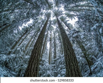 A fisheye view looking up at a winter forest