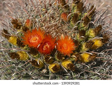Fishhook Barrel Cactus with blooms and fruit