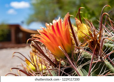A Fishhook Barrel Cactus or candy cacti in bloom with a flower close up and blue sky with puffy white clouds and a blurred out residence in the background. Pima County, Tucson, Arizona. 2018.