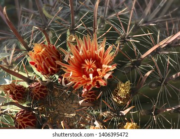 Fishhook Barrel Cactus (ferocactus wisilizeni)