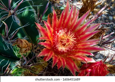 Fishhook barrel cactus, Ferocactus wislizenii, in bloom with large red and orange flowers. Close up of a fish hook cacti with sharp curved thorns and tough green skin. Sonoran Desert, Tucson, Arizona.