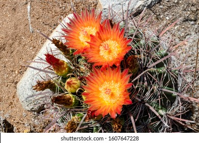 Fishhook barrel cactus, Ferocactus wislizenii with orange and yellow flowers with a touch of red. Beautiful cacti in bloom. Sonoran Desert native plant species found in Pima County, Tucson, Arizona.