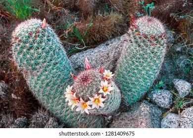 Fishhook cactus (Mammillaria dioica) in bloom, Anza-Borrego Desert State Park, California, USA