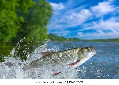 Fishing. Asp fish jumping with splashing in water