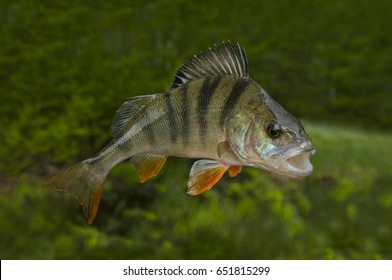Fishing background with perch fish