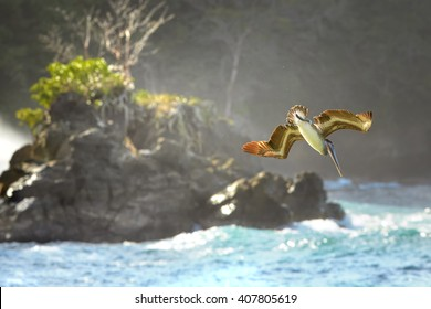 Fishing Brown Pelican, Pelecanus occidentalis flying vertically down to the sea against wild shore of Tobago island.