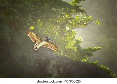 Fishing Brown Pelican, Pelecanus occidentalis flying  with outstretched wings, backlighted by afternoon sun, against coastal forest of Tobago island.  Caribbean wildlife photography. Trinidad & Tobago