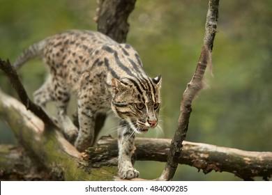 Fishing cat, Prionailurus viverrinus, asian, endangered predator, walking on branch, searching for prey near water.