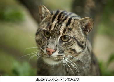 Fishing cat, Prionailurus viverrinus, portrait of asian, endangered, nocturnal predator.