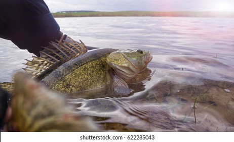 Fishing. I catch and release. Pike perch on freedom.