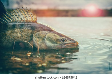 Fishing. Catch and release. Pike perch on freedom.