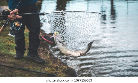 Fishing competitions. Trout is caught on a hook.