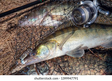 Fishing concept, trophy catch - big freshwater zander fish know as sander lucioperca just taken from the water and fishing rod with reel  on round keepnet with fishery catch in it on yellow grass.