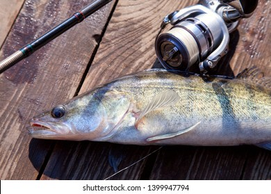 Fishing concept, trophy catch - big freshwater zander fish know as sander lucioperca just taken from the water and fishing rod with reel on vintage wooden background.