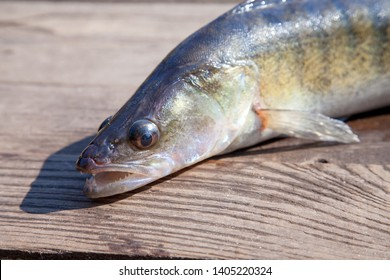 Fishing concept, trophy catch - big freshwater zander fish know as sander lucioperca just taken from the water on vintage wooden background.