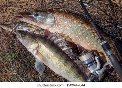 Fishing concept, trophy catch - big freshwater zander fish know as sander lucioperca, pike fish know as Esox Lucius just taken from the water and fishing rod with reel on round keepnet