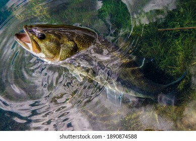 Fishing Detail of a Large Mouth Bass in a Lake