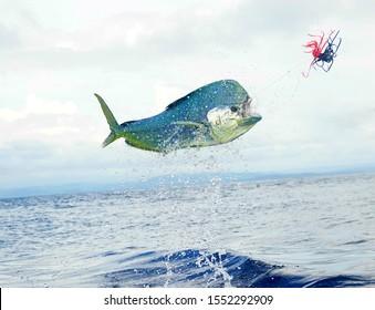fishing dorado mahi-mahi in costa rica.