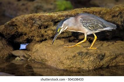 Fishing heron in brazil